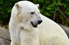 Urso polar em rochas Imagens de Stock Royalty Free