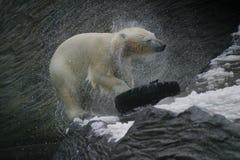 Urso polar, maritimus do Ursus Fotografia de Stock Royalty Free
