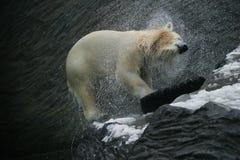 Urso polar, maritimus do Ursus Foto de Stock