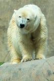 Urso polar (maritimus do Ursus) imagens de stock