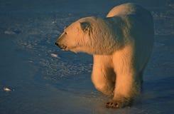 Urso polar na baixa luz solar ártica fotografia de stock royalty free
