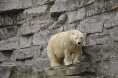 Urso polar na borda da rocha Imagens de Stock Royalty Free