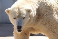 Urso polar na caminhada Fotografia de Stock Royalty Free