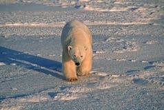 Urso polar na luz ártica azul fria foto de stock royalty free