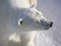 Urso polar na luz do amanhecer imagem de stock royalty free