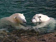 Urso polar nas mãos da terra arrendada do amor imagem de stock