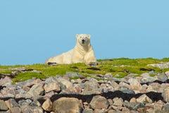 Urso polar nas rochas 1 fotografia de stock