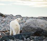 Urso polar no ártico fotos de stock