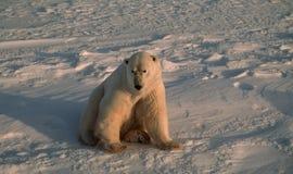 Urso polar no ártico canadense fotos de stock