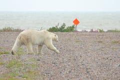 Urso polar no aeródromo foto de stock