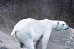 Urso polar no fundo da neve e do gelo Imagens de Stock Royalty Free