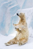 Urso polar no jardim zoológico Fotos de Stock Royalty Free