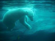 Urso polar no JARDIM ZOOLÓGICO, maritimus do Ursus, imagem de stock