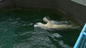 Urso polar no jardim zoológico no movimento lento Águia dourada Um urso polar brincalhão aprecia vídeos de arquivo