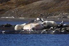 Urso polar no lavado acima da baleia de esperma Imagens de Stock