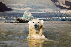 Urso polar para trás em seu ambiente natural fotografia de stock