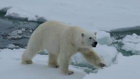 Urso polar que anda em um ártico vídeos de arquivo