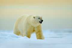 Urso polar que anda no gelo de tração com neve Animal branco no habitat da natureza, Rússia Urso polar perigoso no mar frio polar imagens de stock royalty free