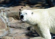 Urso polar que cola sua língua para fora Imagens de Stock