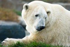 Urso polar que olha para trás imagem de stock
