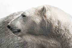 Urso polar que olha para trás imagem de stock royalty free
