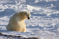 Urso polar que reage a um som atrás dele Imagem de Stock