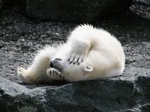 Urso polar que tem o divertimento foto de stock royalty free