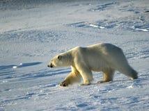 Urso polar, rei do ártico Foto de Stock Royalty Free