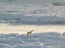 Urso polar, rei do ártico Fotografia de Stock Royalty Free