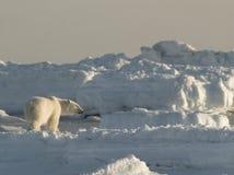 Urso polar, rei do ártico Fotos de Stock
