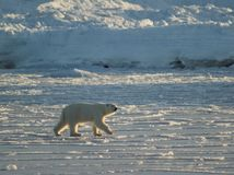 Urso polar, rei do ártico Foto de Stock
