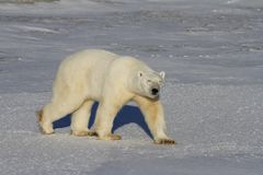 Urso polar, Ursus Maritimus, andando na tundra e na neve em um dia ensolarado imagem de stock