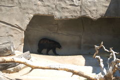 Urso preto 2 Imagem de Stock Royalty Free