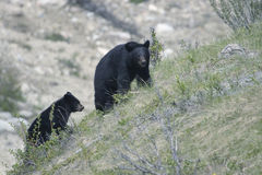 Urso preto. Foto de Stock Royalty Free
