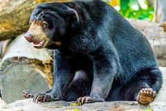 Urso preto Foto de Stock Royalty Free