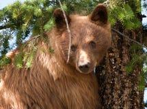Urso preto Fotos de Stock