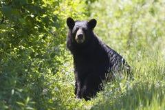 Urso preto imagem de stock