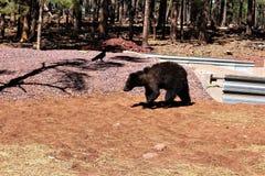 Urso preto Foto de Stock