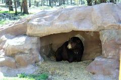 Urso preto Imagens de Stock