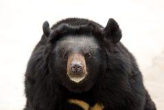 Urso preto fotos de stock royalty free
