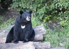 Urso preto americano Imagens de Stock Royalty Free