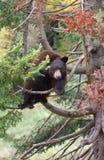 Urso preto americano em uma árvore imagens de stock