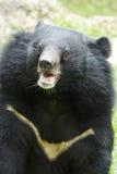 Urso preto asiático Foto de Stock Royalty Free