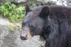 Urso preto asiático do retrato imagens de stock royalty free