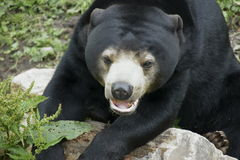 Urso preto no jardim zoológico Fotos de Stock Royalty Free