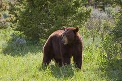 Urso preto de Hyperphagic fotos de stock royalty free