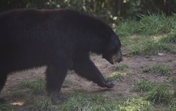 Urso preto de Louisiana foto de stock royalty free
