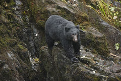 Urso preto do Alasca Imagem de Stock Royalty Free