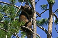 Urso preto do bebê acima em uma árvore Fotos de Stock Royalty Free