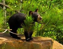 Urso preto do bebê que está em uma rocha Imagem de Stock Royalty Free